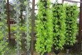 Giàn treo trồng rau thủy canh GT2
